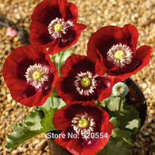 200pcs different colors of oriental poppy- - DIY home garden free shipping(China)