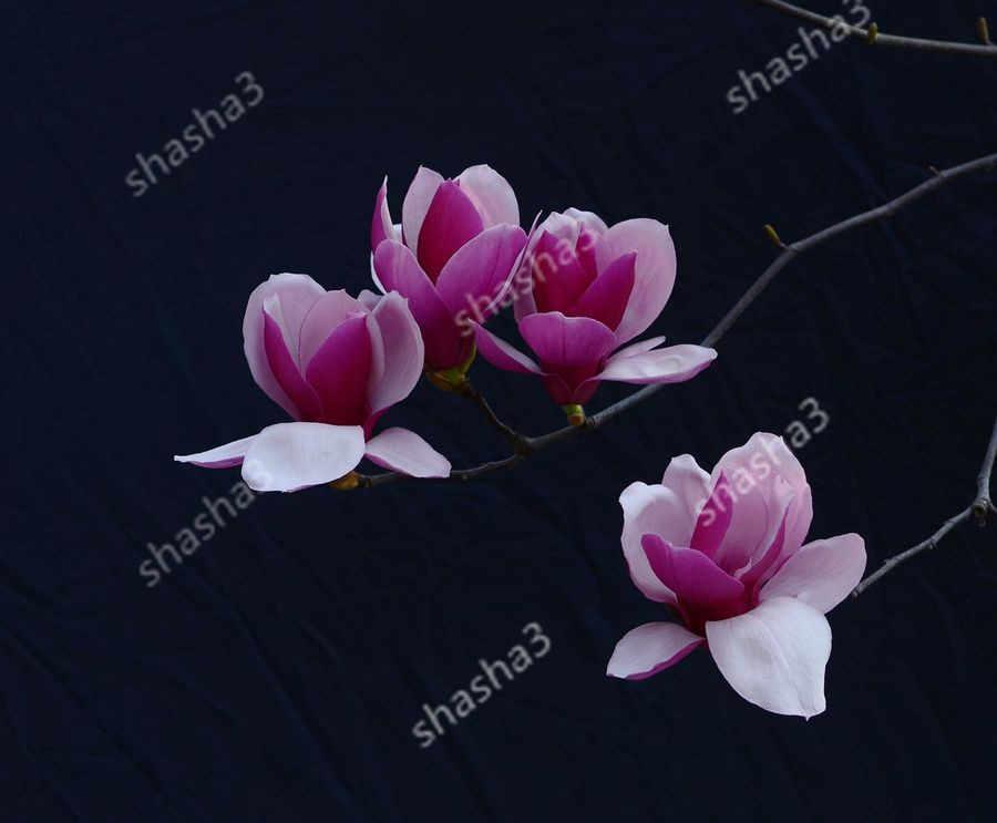 モクレンの花盆栽美しい木盆栽簡単成長ホームガーデン Diy のため観賞植物 10 ペーチ