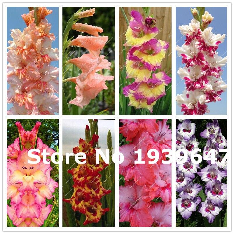 100 Pcs Rare Striped Sword Gladiolus Garden Lily Plant Flowers Gladiolus Orchid Bonsai Seedsplant Gandavensis High Survival Rate