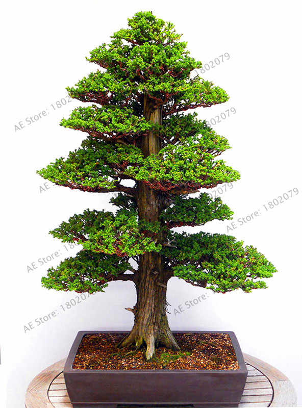 Hot Sale!28PCS/BAG rare tree garden for home bonsai  JAPANESE CEDAR Semillas bonsai plant,#EDNH8B