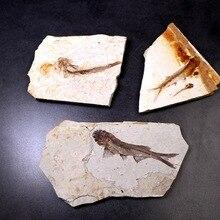 Естественная Палеонтология волчий плавник рыба окаменелый образец насекомое окаменелое обучение популярной науке