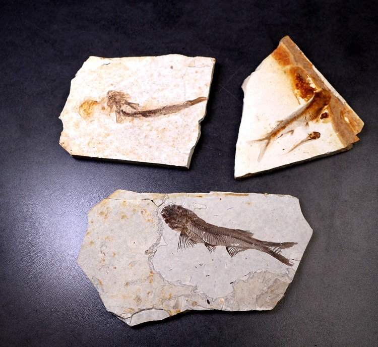 Natural Paleontology Wolf Fin Fish Fossil Specimen Insect Fossil Teaching Popular Science