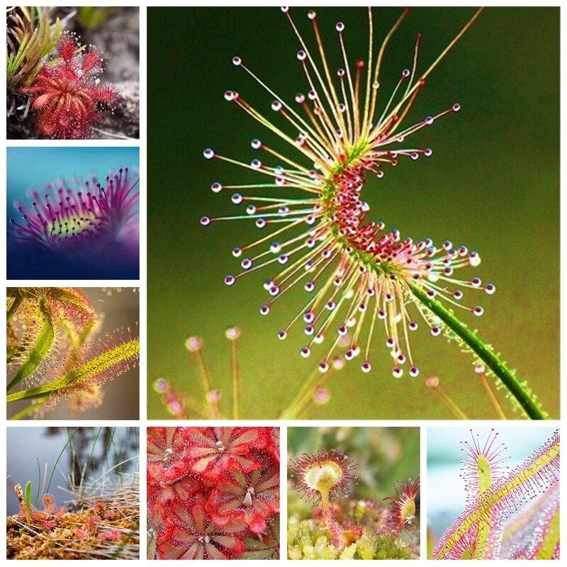 100 Pcs / Lot Carnivorous Plants Potted Flycatcher Bonsai Sundew PlantaDrosera Peltata Table Garden Planting Radiation Protect