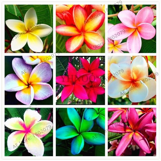 20 unids/bolsa colores mixtos Frangipani Plumeria Rubra flor flores, planta de bonsai perenne para el hogar y la plantación de jardín