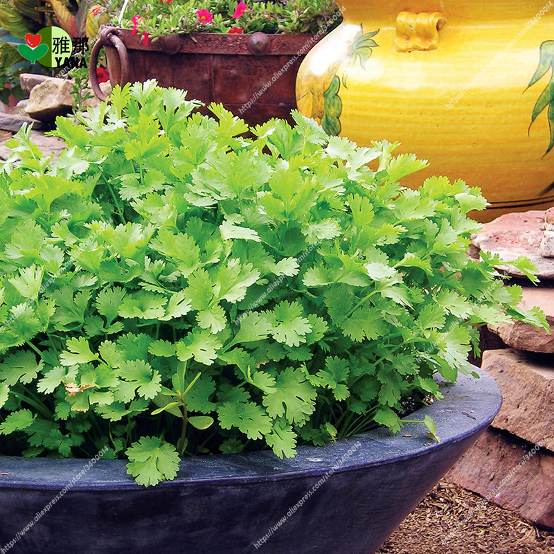 50pcs Cilantro big leaf coriander  Coriandrum sativum Herb Spice Coriander Rare Bonsai potted Vegetable plant