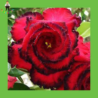 Sangue Rosso Petali di Rosa del Deserto piante Da Giardino Balcone In Vaso semi di piante Bonsai 1 pz Autentico Fiori piante bonsai Perenne Giardino