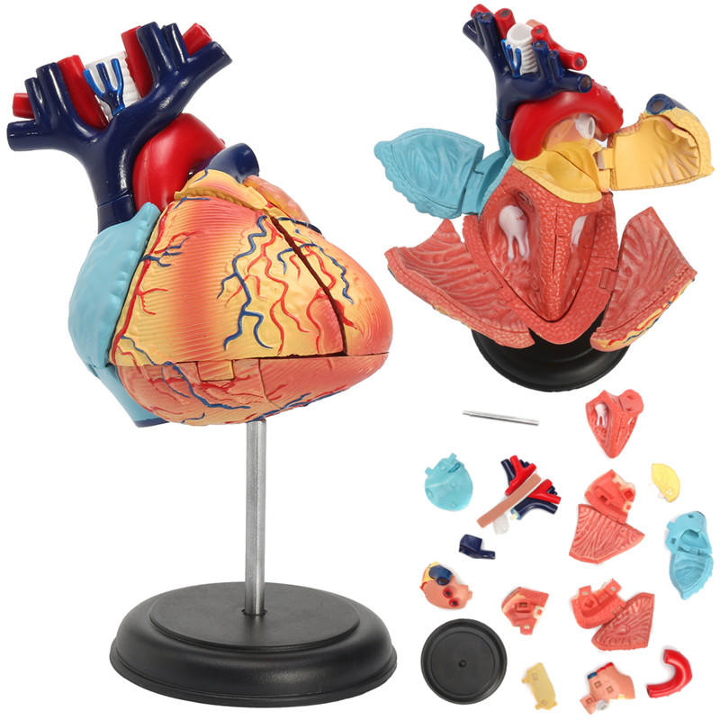 4D Disassembled Anatomical Human Heart Model Anatomy Medical School Educational Teaching Tool Anatomical Human Heart Model New