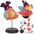 Modelo de corazón humano anatómico desmontado 4D anatomía escuela médica herramienta de enseñanza educativa modelo de corazón humano anatómico nuevo