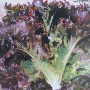 Гамбург суши я Ши Fengming Питание оптовая продажа овощей бонсай 100 шт.