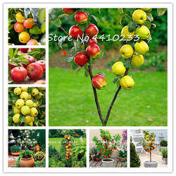 30 шт. яблоко бонсай, сладкие фрукты бонсай дерево органические вкусные четыре сезона посев Редкие зеленые фрукты комнатные растения