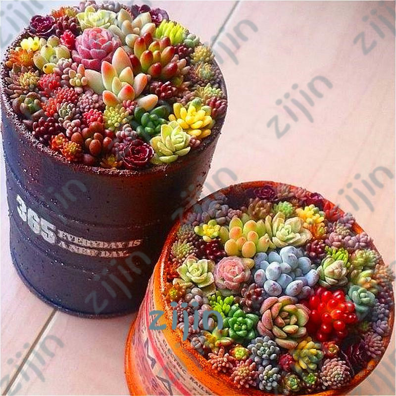 50Pcs Beauty Mixed Mini Lithops Bonsai Plants Cactus Plants Organic Garden Succulent Bonsais Balcony Flower Planting(China)