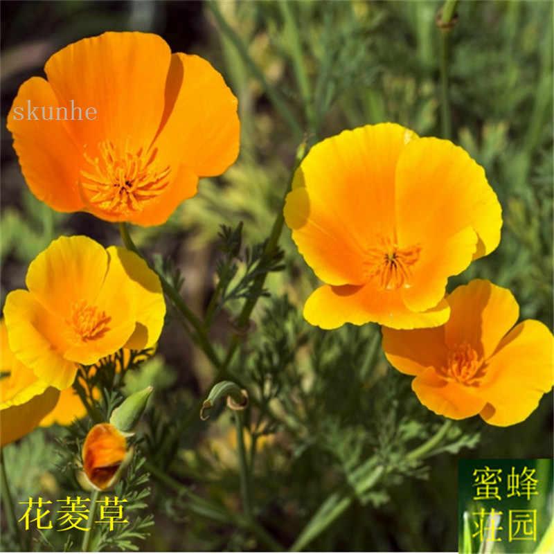 花菊盆栽輸入 Jinye 花 bonsais 人参花 100 個 (華玲曹操)