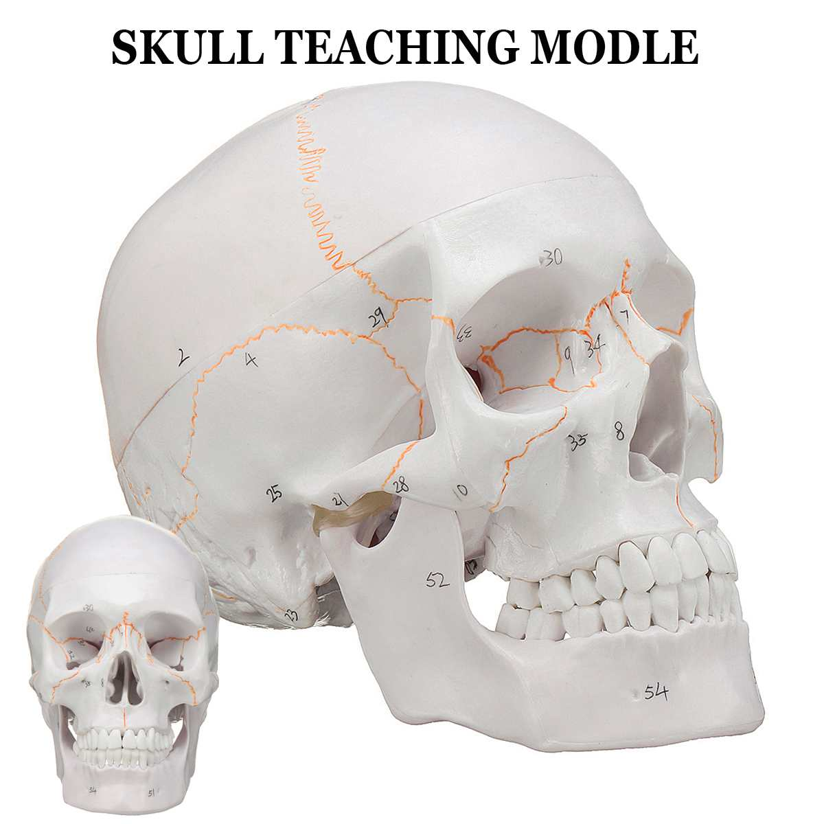 Head Skull Skeleton Model 1:1 Life size Skull Medical Science for School Teaching Human Anatomy Precise Adult Head Medical Model