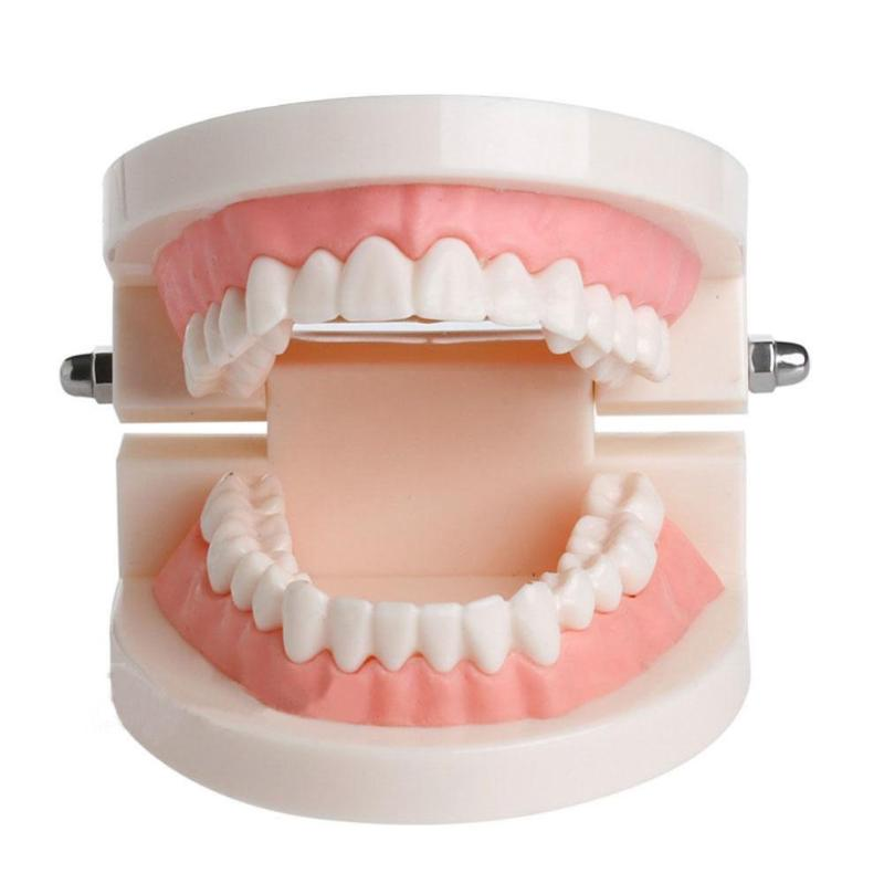 Pro Adult White Teeth Model Standard Dental Teaching Study Typodont Demonstration Oral Medical Education Teeth Model  Tool