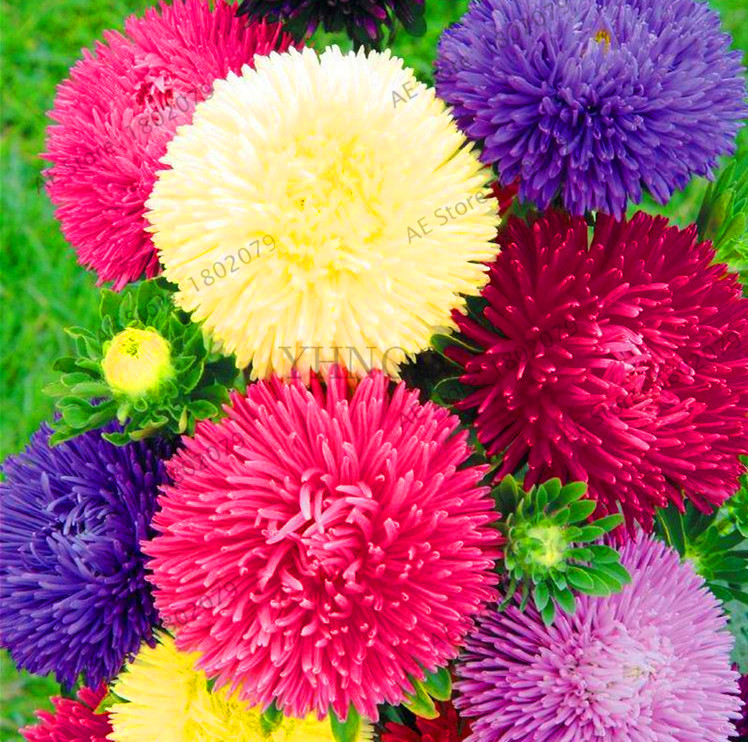 Garden Supplies Bonsai Lovely Hot Sale!200 Pcs/bag Multi-color Aster Bonsai Chinese Chrysanthemum Flower Garden For Home Gaden Plant High Sprouting Easy To G