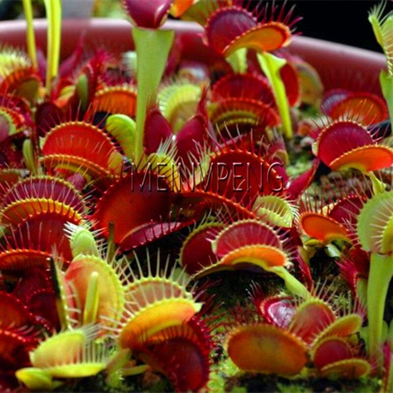 Lowest Price!Potted Insectivorous Plants Garden Bonsai Dionaea Muscipula Flytrap Bonsai Of Flowers Rare Cactus 20flores
