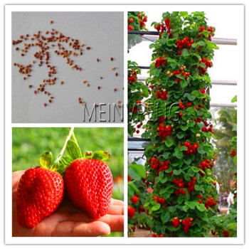 Best-Selling!100 pcs climbing strawberry bonsai Climbing Red Strawberry plant With SALUBRIOUS TASTE * NON-GMO Strawberry Mount