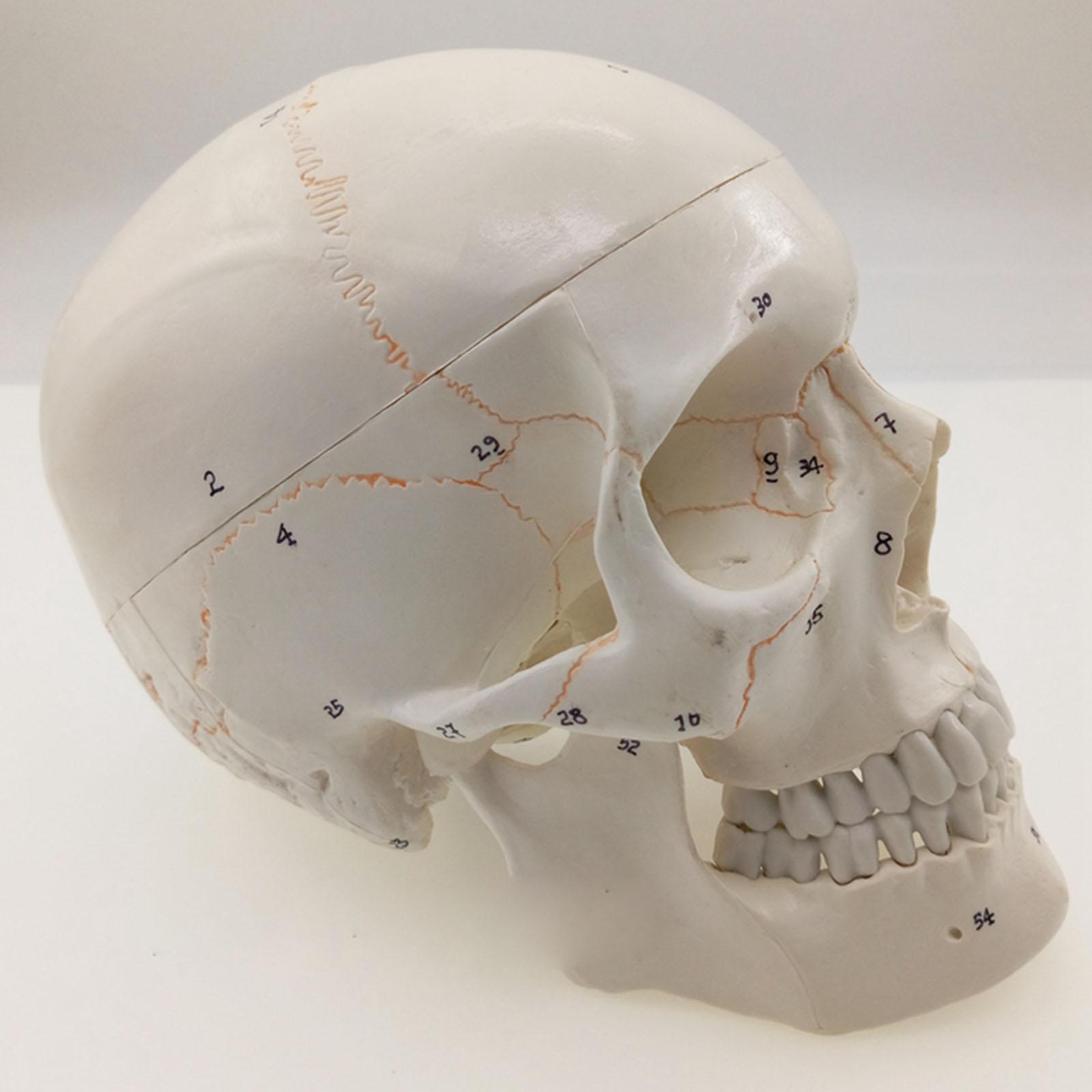 Modèle de crâne humain numéroté naturel taille de la vie Suture osseuse clair mat PVC ressources pédagogiques ressources d'apprentissage
