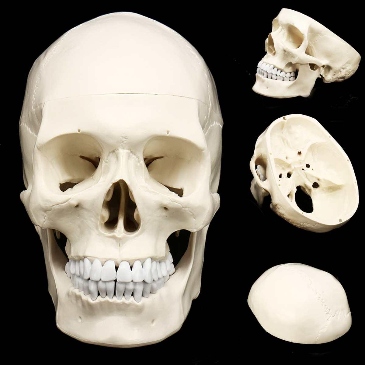 Life Size Human Anatomical Anatomy Resin Head Skeleton Skull Teaching Model Detachable School Educational Human Head Skull Model