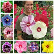 On Sale!!! 20pcs Hibiscus Plants 24kinds HIBISCUS ROSA-SINENSIS Flower Planta HibiscusTree Plants Flower Potted Plants(China)
