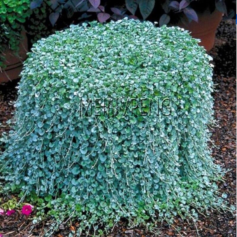 Lowest Price!200 Pcs / Bag Dichondra Repens Lawn Flores Money Grass Plantas Garden Plants Bonsai Flower Pot For Home Jardin Sem