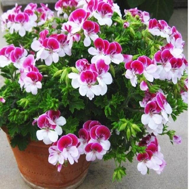 Двухцветный красный, белый одностворчатый герани бонсай многолетнее цветок бонсай пеларгония Peltatum бонсай для внутреннего номера 10 шт./пакет