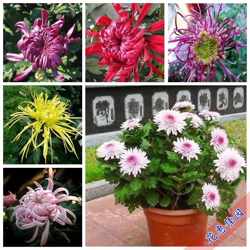 Chrysanthemum flowers and green plants bonsais indoor courtyard Four Seasons chrysanthemum pots bonsai 20pcs
