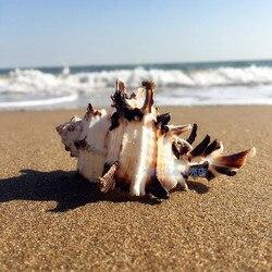 Naturalna muszla kości ślimak 7 11 CM czarny kręgosłupa ślimak Fish Tank Home morza śródziemnego okazy mikro dekoracja krajobrazowa Craft w Muszle i rozgwiazdy od Dom i ogród na