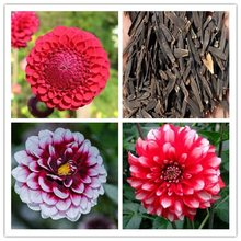 Rare rainbow Dahlia bonsais Chinese Flower bonsais Bonsai Garden for home garden plantting 10pcs/pack(da li hua)(China)
