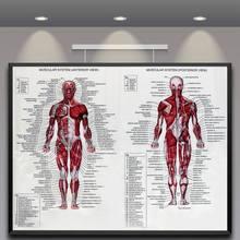 60 см* 80 см мышечные плакаты с системой шелковой ткани Анатомия диаграмма человеческого тела школы медицинские наука образовательные принадлежности украшение дома