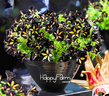 Hot Sale! 100 Pcs/Bag Black Color Star Petunia Plants Garden And Patio Potted Plant Morning Glory Flowers Bonsai(China)
