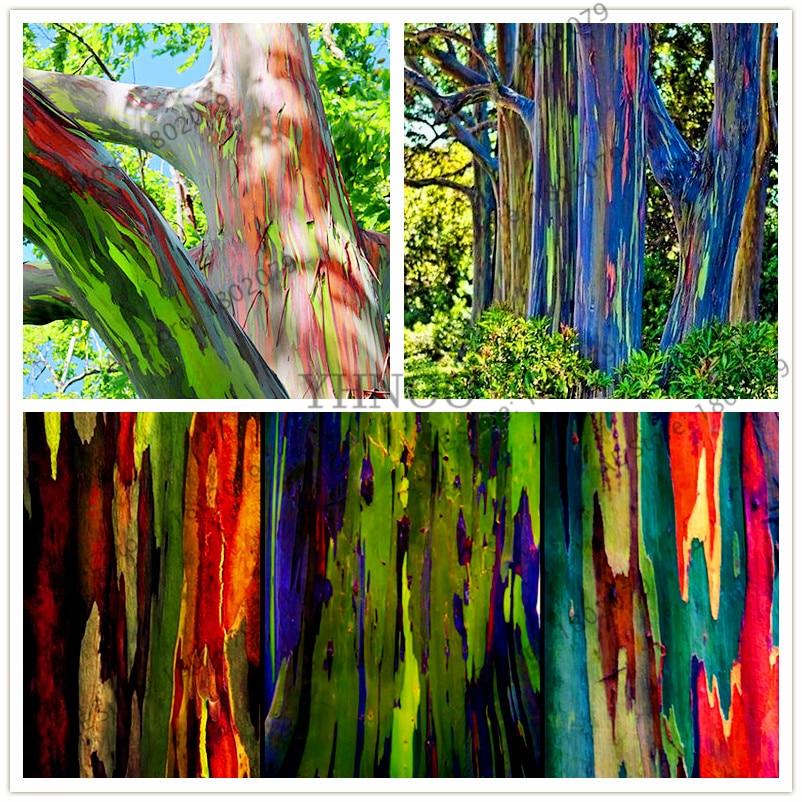 100pcs/bag Rare Rainbow Eucalyptus Deglupta Bonsai,showy Tropical Tree Plants, Eucalyptus Plant For Garden Plant