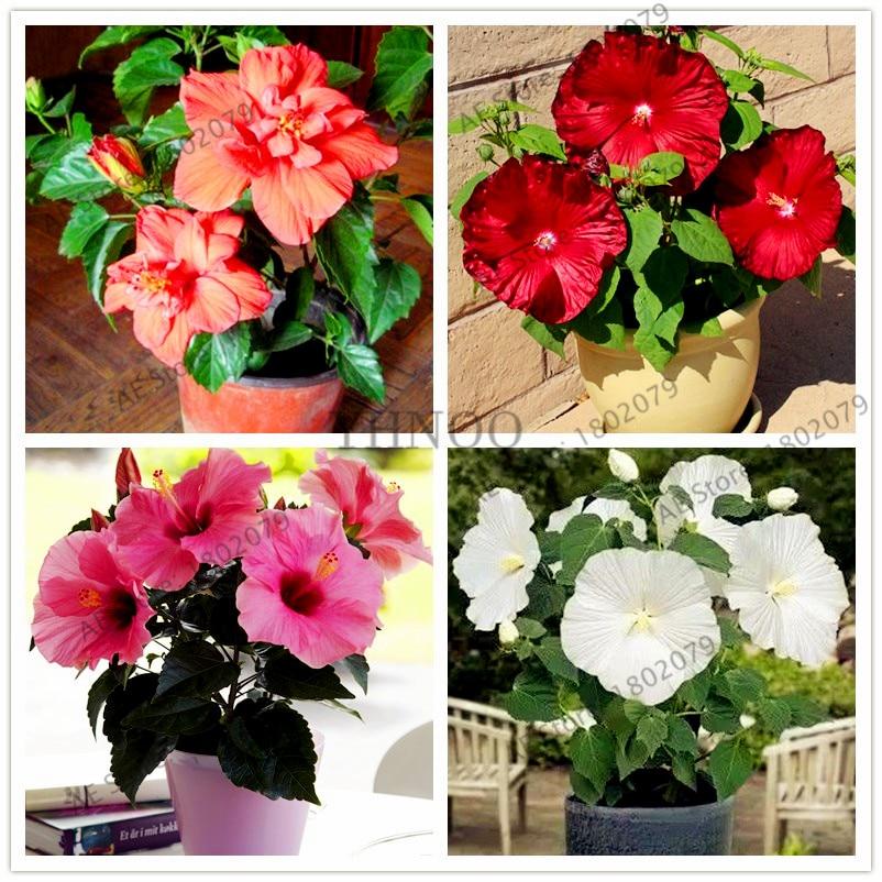 100pcs/bag Colorful Bonsai  Hibiscus Flores,Hibiscus Mutabilis Flower, Perennial Flower For Home Bonsai Garden Planting