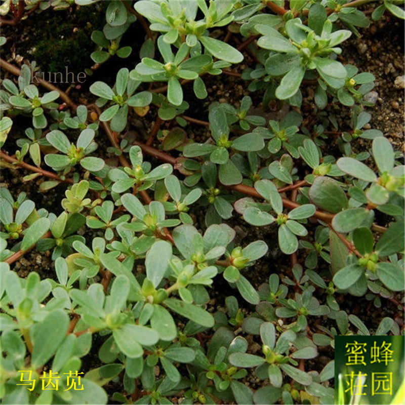 Purslane bonsais bonsais Grasshopper Vegetables bonsais 100pcs(ma chi xian)