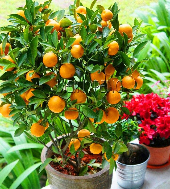 Акция! бонсай Orange NO-GMO мини-дерево бонсай для выращивания на балконе или крыльце фруктовые деревья кумкват завод Tangerine цитрусовых, 10 сад