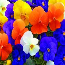Real Special Offer Flower bonsai Pansy 20pcs Hardy, Mix Color, Diy Home Garden Potted Or Yard Free Shipping E008