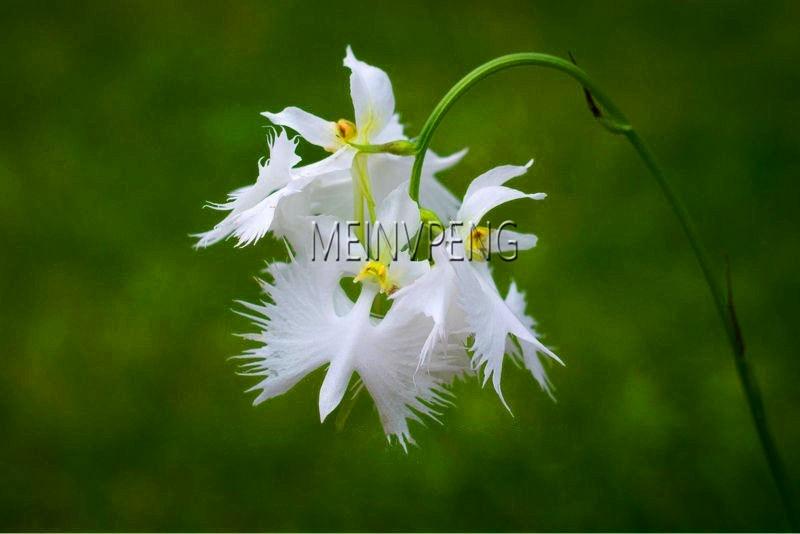 Time-Limit!!Japanese Radiata Bonsai White Egret Orchid Plant World's Rare Orchid Species White Baison Flowers,100garden