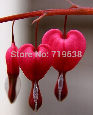 Home & Garden Dependable 50pcs Heart Flower Bonsai Dicentra Spectabilis Sweet Heart Wallet Peony Flower Semillas De Flores Free Shipping For Garden Plant Nourishing Blood And Adjusting Spirit