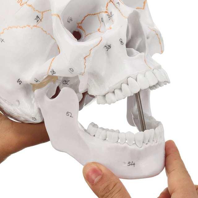Head Skeleton Skull 1:1 Model Medical Science Teaching Life-size Skull for School Human Anatomy Precise Adult Head Medical Model
