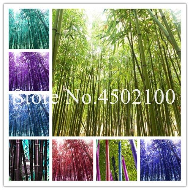 50 pz Rare Nero Timor di Bambù Bonsai, Bambusa Viola Colorato Di Bambù Giardino