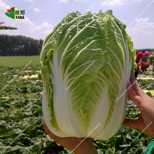 100 pcs chinese cabbage , vegetable heirloom for home garden bonsai plant