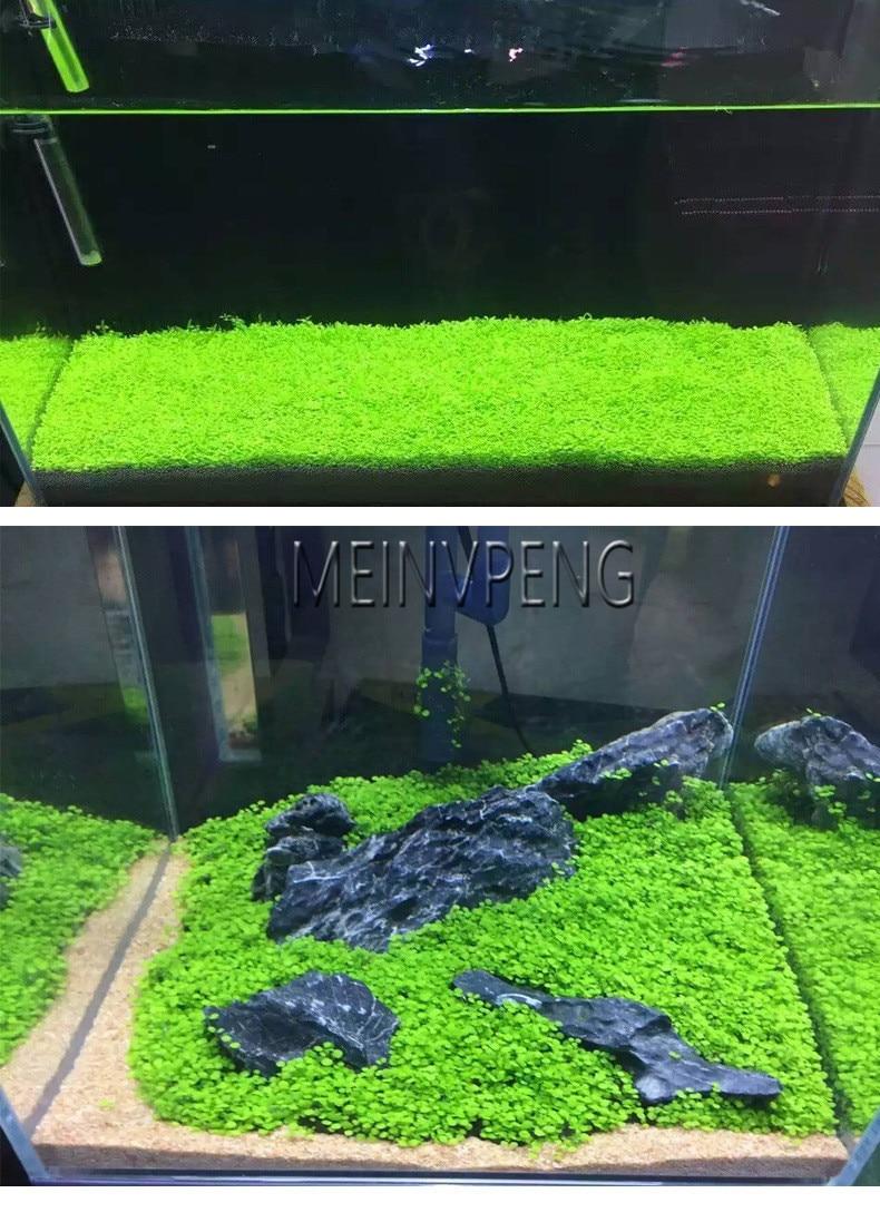New Arrival!Aquarium Glossostigma Hemianthus Callitrichoides Bonsai Water Grass Mini Leaf Live Plant Fish Tank,500garden