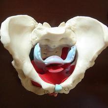 ПВХ съемный женский таз тазового пола модель мышц матки яичников обучающие материалы обучающая модель реквизит