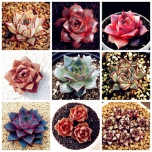 Hot Sale! 100 Pcs Echeveria Purpusorum Bonsai Fresh Succulent Plant Home Rock Garden Gorgeous Round Leaf RARE Succulents