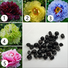 china Peony ,peony flower Chinese rose beautiful bonsai potted plant for home garden 10pcs/bag