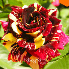 Big Sale!Rare stripe rose bush Plants flowers for room ,Beautiful Garden Bonsai Exotic potted Plant sementes,100pcs/Pack,#W5IJF(China)