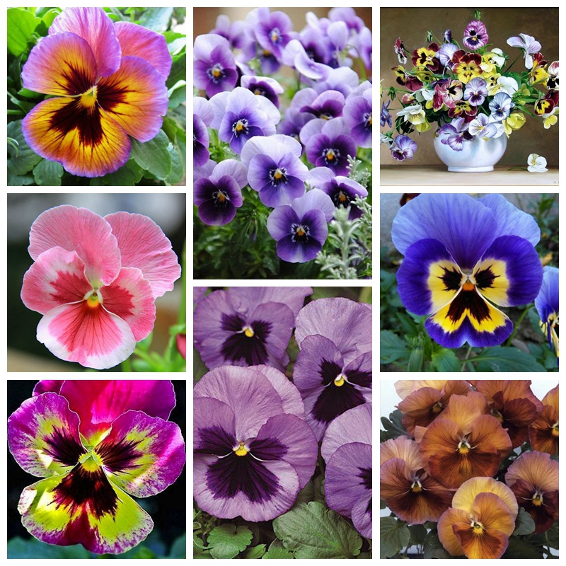 Garden Plant Mixed Pansy Bonsai Plant 20 Pcs/ bag Flowers Colourful Pansy Bright & Beautiful Color Light Up Your Home Garden