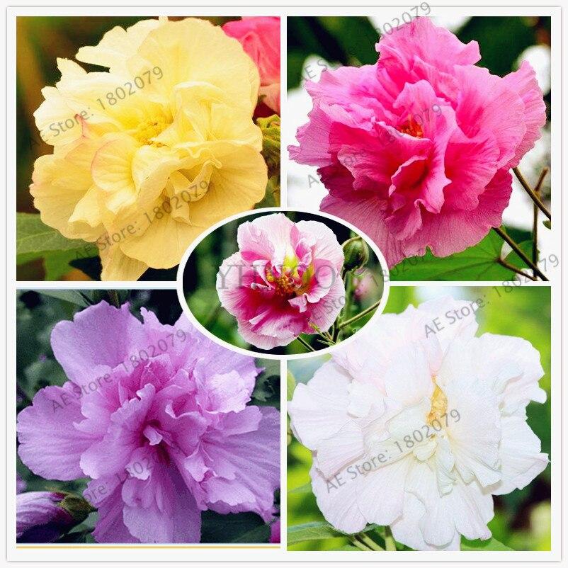 50pcs/bag Mixed Color Hibiscus Mutabilis Flower Flores Dinnerplate Hibiscus Perennial Flower For Home Bonsai Garden Planting