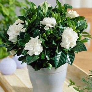 100 PCS Seedsflower Gardenia S
