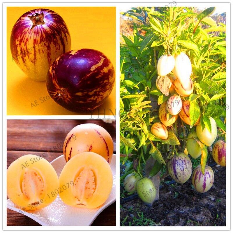 "SEEDS–""Honey Bun"" Mini Bush Cantaloupe ""Cucumis melo"" Great for limited space!"